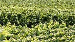 vignoble-champenois